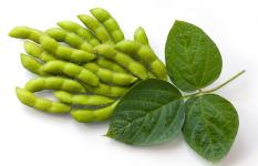 fresh-soy-beans